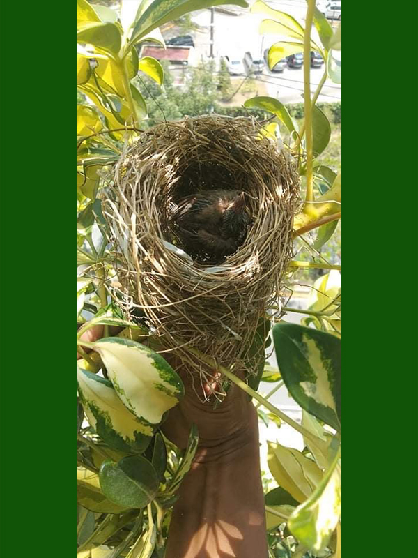 The greenwall is the new home for these nestlings